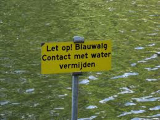 Blauwalg in Berkelse Plas
